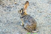 Wild Rabbit With Big Ears