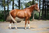 Chestnut Horse Standing Near The Forest