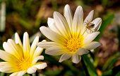 Oxyopidae Lynx Spider On Australian Daisy Flower