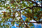 Grape Vines With Blue Sky As Background