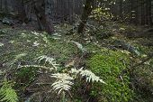 image of irish moss  - Mysterious beautiful pinewood forest with mossy stones - JPG