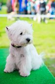 foto of west highland white terrier  - west highland white terrier on an exhibition outdoors - JPG