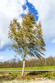 Birch Tree In Usedom At The Levee