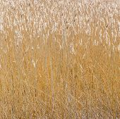 Reed Grass At The Backwater