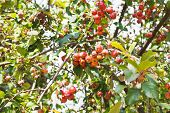 Ripe Apples On Malus Purpurea Tree