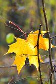 Last Yellow Fallen Maple Leaf On Twig