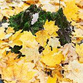 Yellow Maple Leaf Litter Around Mossy Tree Stump