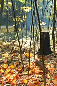 Stump And Red And Yellow Maple Leaves