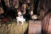stock photo of eerie  - Beagle with different colored eyes sitting on bale of hay in a dark barn looking towards the eerie light coming from the doorway  - JPG
