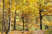 Yellow Autumn Birch And Oak Forest