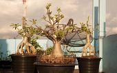 Adenium Obesum Tree Or Desert Rose In Flowerpot