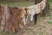 pic of tan lines  - row of wild animal skins hanging from a rope  - JPG