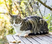 Cat With Blue Eyes Sitting On Wooden Table Against Green Summer Bokeh