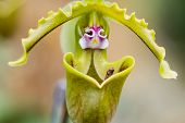 Close Up Of Lady's Slipper Orchid Flower
