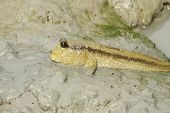 stock photo of mud  - A giant mud skipper resting in the mud - JPG