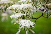 stock photo of dogwood  - Close up of the dogwood blooming branches with white flowers.