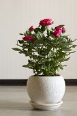 Pink rose on a ceramic pot in  room