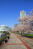 Yokohama Landmark Tower and the cherry blossoms in Japan