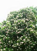 Blooming Horse-chestnut Tree