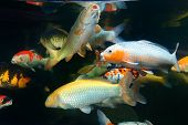 pic of koi fish  - Different colorful koi fishes swimming in aquarium - JPG