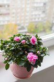 Pink azalea on the windowsill