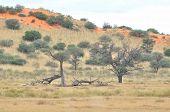 Kgalagadi Tree And Dune Landscape