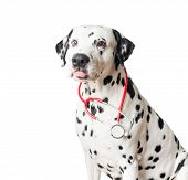 stock photo of spotted dog  - Beautiful black and white spotted dalmatian dog red stethoscope - JPG