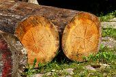 cracked felled trees
