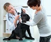 veterinarian doctor making a checkup of a puppy labrador retriever