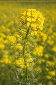 Flower Of Yellow Mustard Seed In Field