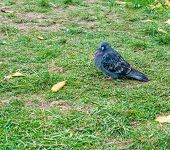 Pigeon Surrounded By Grass