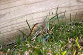 image of harmless snakes  - A black and yellow North American Garter snake slithering through the green grass - JPG