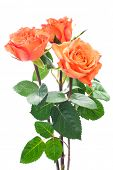 Orange roses isolated on the white background