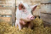 stock photo of husbandry  - Pig on hay and straw at pig breeding farm - JPG