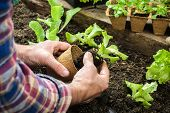 stock photo of plant pot  - Farmer planting young seedlings of lettuce salad in the vegetable garden - JPG