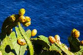 image of prickly-pear  - A cactus plant with prickly pears - JPG