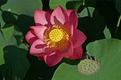 Fully Exposed Pink Lotus