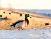 image of duck pond  - Wild duck standing on the shore of the pond with the sun at sunset