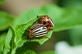 Wreckers Of Potato - Colorado Bugs Breed On Leaves