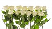 stock photo of single white rose  - Thirteen beautiful white roses with delicate green leaves on a white background horizontal - JPG