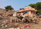 pic of polution  - disposal dump in the middle of the asian street with stray animals eating - JPG
