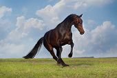 picture of stallion  - Bay stallion playing in green field against blue sky - JPG