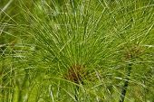 picture of marsh grass  - Cyperus papyrus tropical decorative grass in the park - JPG