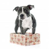 stock photo of american staffordshire terrier  - puppy staffordshire bull terrier in front of white background - JPG