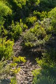 image of naturalist  - winding sandy path through small sunlit wattle shrubs - JPG