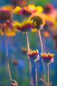 pic of cone  - Beautiful american cone flowers in close up photographet at sunset - JPG