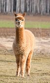 foto of alpaca  - Face of alpaca  - JPG