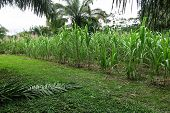 picture of sugar  - Sugar cane field near a sugar mill - JPG