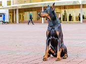 foto of doberman pinscher  - The Doberman Pinscher is on the green grass in the park - JPG