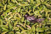 picture of avian flu  - Remains of bird on field of green bush - JPG